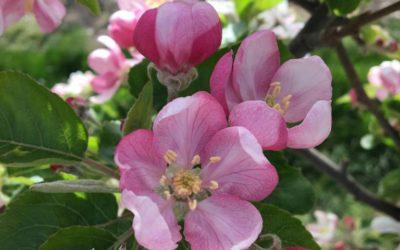 Nos vergers de Zingy au printemps